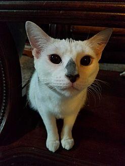 Domestic Shorthair Cat for adoption in Yukon, Oklahoma - Brigot's Snow & LIly