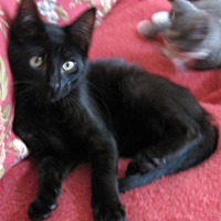 Adopt A Pet :: Raven - brewerton, NY