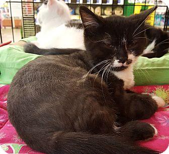Domestic Shorthair Kitten for adoption in Irwin, Pennsylvania - Duke
