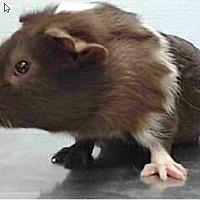 Adopt A Pet :: *Urgent* Gilmore - Fullerton, CA