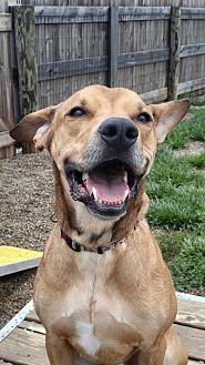 Labrador Retriever/Boxer Mix Dog for adoption in Wilmington, Ohio - Brett