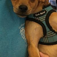 Adopt A Pet :: Cameron - Gilbert, AZ