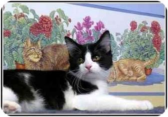 Domestic Shorthair Kitten for adoption in San Clemente, California - WINSTON =Engaging &Flirtatious