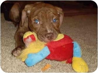Pit Bull Terrier Mix Puppy for adoption in Battleground, Indiana - Logan