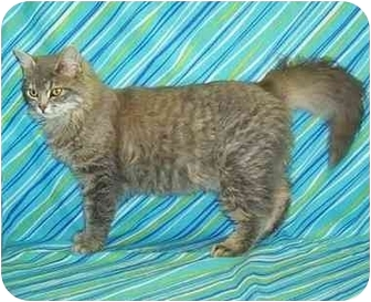 Domestic Longhair Cat for adoption in Murphysboro, Illinois - Lady Chase