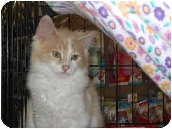 Domestic Longhair Kitten for adoption in Fernandina Beach, Florida - Shamrock