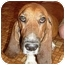 Photo 2 - Basset Hound Dog for adoption in Phoenix, Arizona - Burt