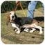 Photo 2 - Basset Hound Dog for adoption in Folsom, Louisiana - Roy