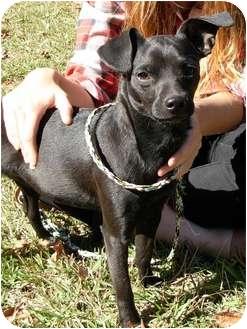 Chihuahua/Terrier (Unknown Type, Small) Mix Dog for adoption in Thomaston, Georgia - Cisco