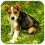 Photo 1 - Jack Russell Terrier Mix Puppy for adoption in Spring Valley, New York - Cody