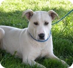 Labrador Retriever/Border Collie Mix Dog for adoption in Seattle, Washington - Buddy
