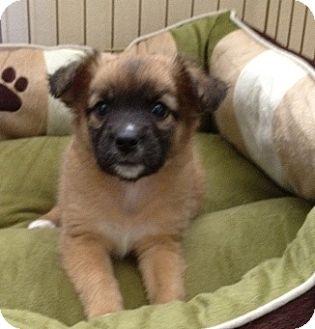 Border Collie Mix Puppy for adoption in Tustin, California - Bonnie