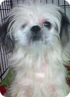 Maltese/Shih Tzu Mix Dog for adoption in Oswego, Illinois - I'M ADOPTD Pocahontas Dean
