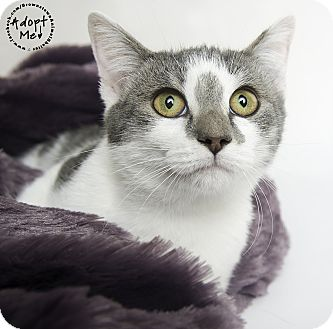 Domestic Shorthair Cat for adoption in Brownstown, Michigan - Smudge