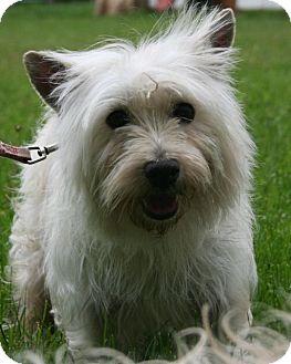 Westie, West Highland White Terrier Dog for adoption in Newtown, Connecticut - Maggie