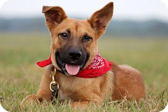 Shepherd (Unknown Type)/Belgian Malinois Mix Dog for adoption in Natchitoches, Louisiana - Paulie