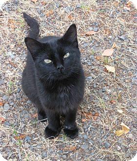 Domestic Shorthair Cat for adoption in Williamston, North Carolina - Tar Baby