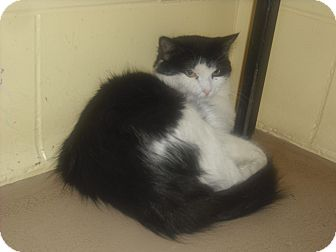 Domestic Shorthair Cat for adoption in Granby, Colorado - Macey