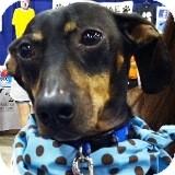 Dachshund Dog for adoption in Houston, Texas - Oscar de la Wiene'