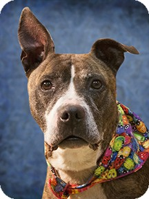 Pit Bull Terrier Mix Dog for adoption in Cincinnati, Ohio - Stella