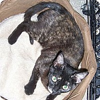 Domestic Shorthair Cat for adoption in College Station, Texas - Marnie