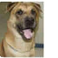 Adopt A Pet :: Sequoia -courtesy post - Scottsdale, AZ