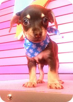 Chihuahua Puppy for adoption in San Diego, California - Dolly