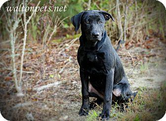 Labrador Retriever Mix Dog for adoption in Monroe, Georgia - Boo
