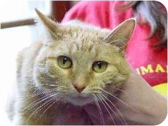 Domestic Shorthair Cat for adoption in Mason City, Iowa - Linen