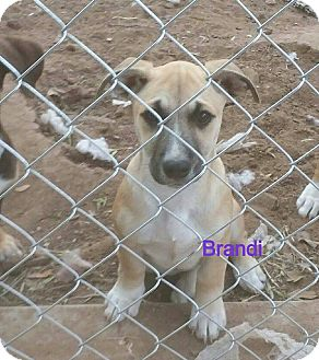 Terrier (Unknown Type, Medium) Mix Puppy for adoption in Snyder, Texas - Brandi