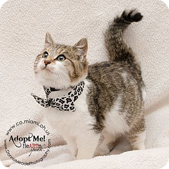 Domestic Mediumhair Kitten for adoption in Troy, Ohio - Chester