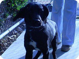 Labrador Retriever Mix Dog for adoption in Tyner, North Carolina - Walter