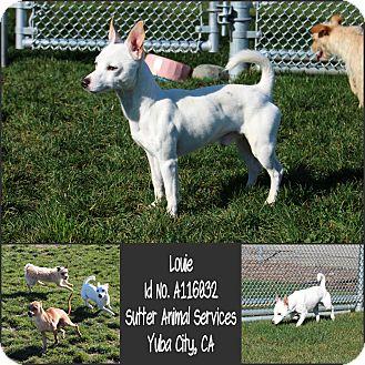 Chihuahua Mix Dog for adoption in Yuba City, California - 01/22 Louie