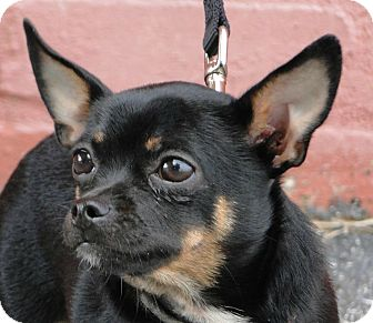 Chihuahua Dog for adoption in Cleveland, Oklahoma - Trixie-$50