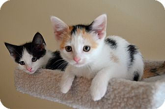 Calico Kitten for adoption in Port Republic, Maryland - Rose