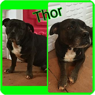 American Bulldog/Basset Hound Mix Dog for adoption in Gainesville, Georgia - thor