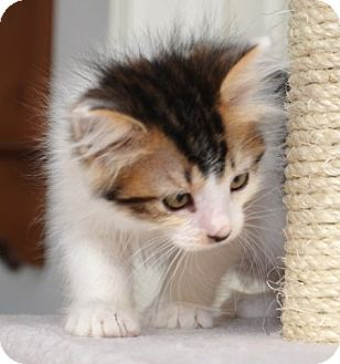 Maine Coon Kitten for adoption in Davis, California - Roxy Rose