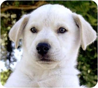 Labrador Retriever/Husky Mix Puppy for adoption in Marina del Rey, California - Sarge