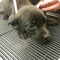 Adopt A Pet :: Daryl (Walking Dead pup) - Cumming, GA