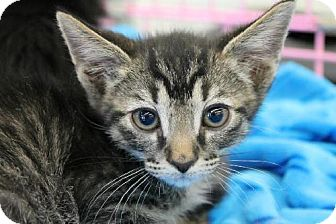 Domestic Shorthair Kitten for adoption in Phoenix, Arizona - Dewey