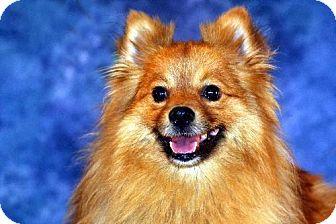 Pomeranian Dog for adoption in Dallas, Texas - Kizmo