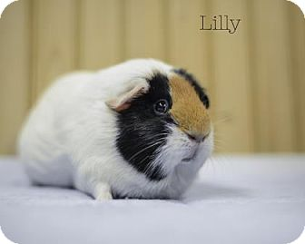 Guinea Pig for adoption in West Des Moines, Iowa - Lilly
