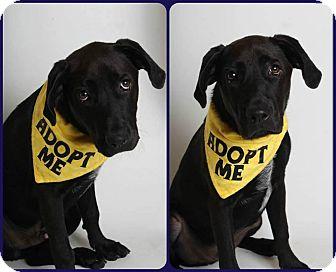 Labrador Retriever/Border Collie Mix Puppy for adoption in Phoenix, Arizona - Hemi