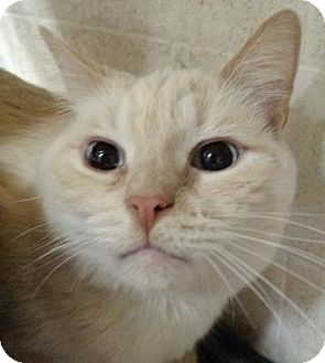 Siamese Cat for adoption in West Des Moines, Iowa - Charlie