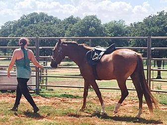Quarterhorse/Thoroughbred Mix for adoption in Guthrie, Oklahoma - Lucky