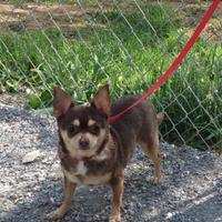 Adopt A Pet :: Mipsy - Atchison, KS
