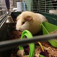 Adopt A Pet :: *Urgent* Squirtle - Fullerton, CA