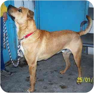 Boxer/Labrador Retriever Mix Dog for adoption in YERINGTON, Nevada - CONEY