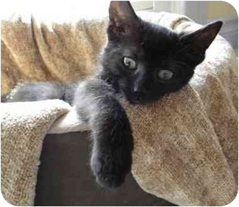 Domestic Shorthair Kitten for adoption in Toronto, Ontario - Mayday