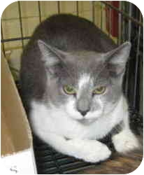 Domestic Mediumhair Cat for adoption in Stillwater, Oklahoma - Sista